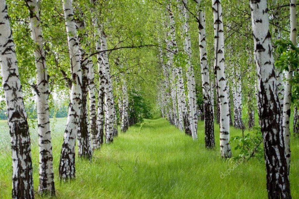 Breza, zeleni simbol Rusije | Reklamirajte se